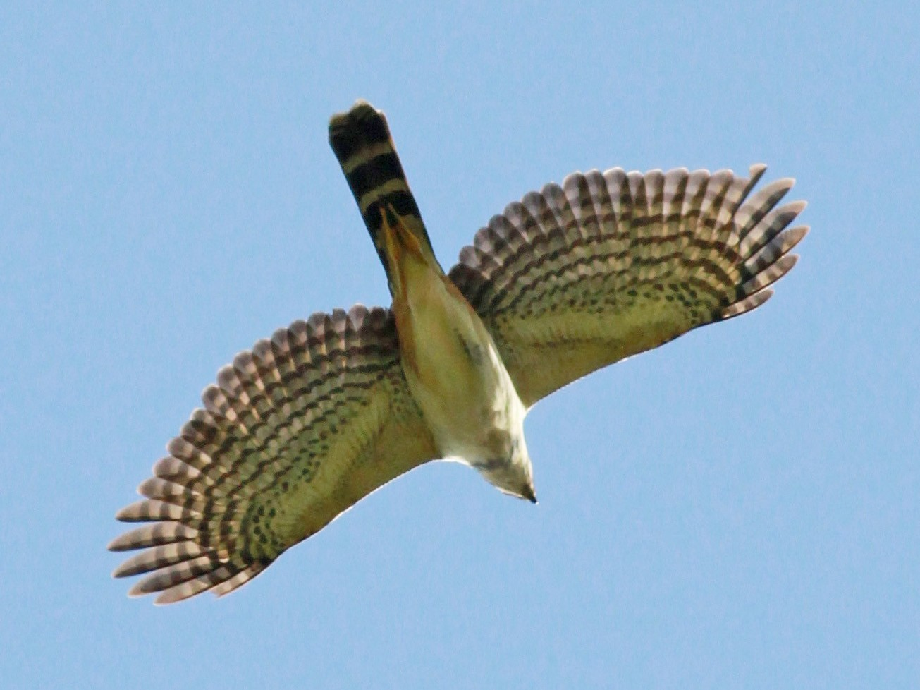 Bicolored Hawk - Jay McGowan