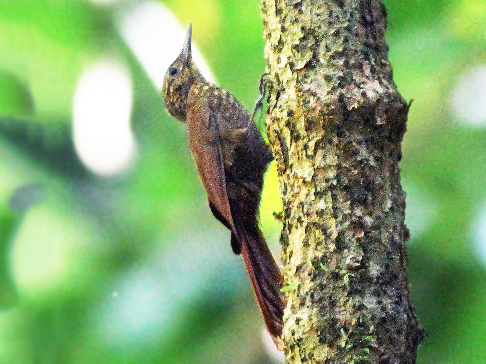 Long-tailed Woodcreeper - Andrew Spencer