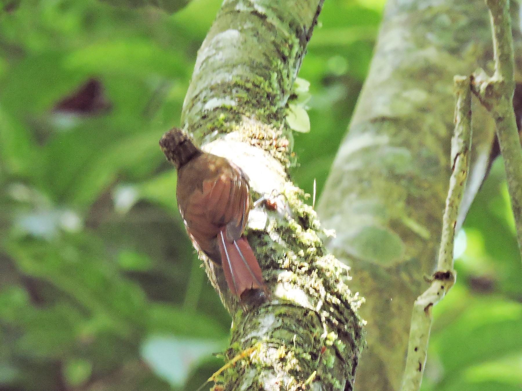 Long-tailed Woodcreeper - Diego Quesada