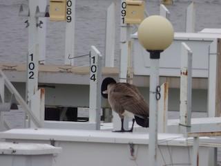 Canada Goose, ML52941461