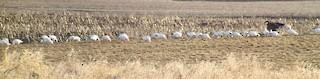 Ross's Goose, ML52977991