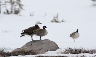 Cackling Goose, ML52979501