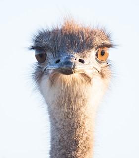 Common Ostrich, ML53118791