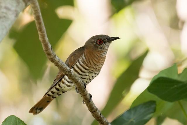 Little Bronze-Cuckoo (Gould's)