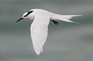 - Black-naped Tern