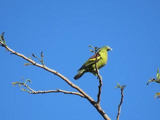 - Philippine Green-Pigeon