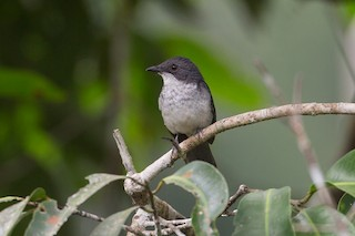 - African Forest-Flycatcher