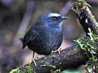 - Silvery-fronted Tapaculo (Silvery-fronted)