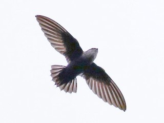 - Costa Rican Swift