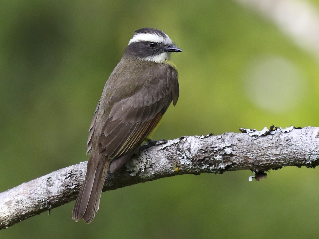 Rusty-margined Flycatcher - Knut Hansen