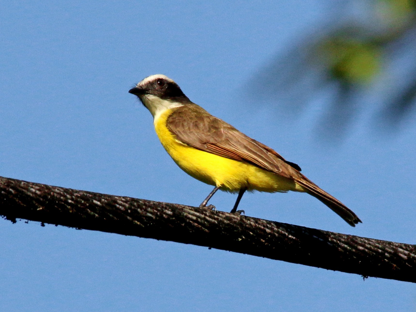 Rusty-margined Flycatcher - Gustino Lanese