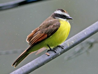 - Rusty-margined Flycatcher