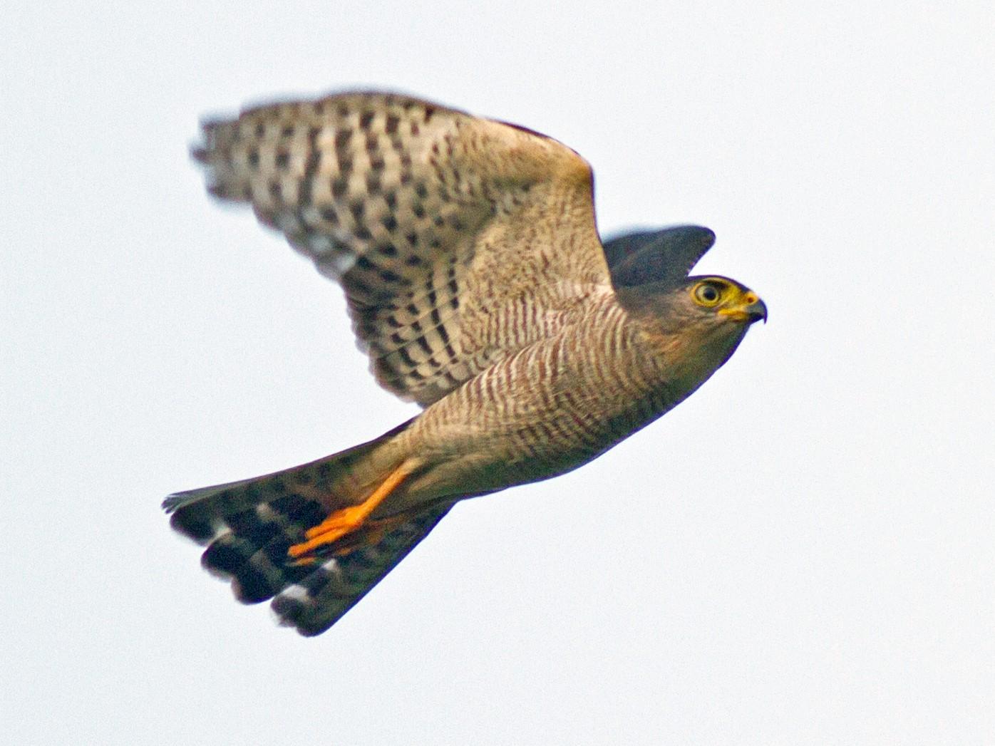 Tiny Hawk - Justyn Stahl