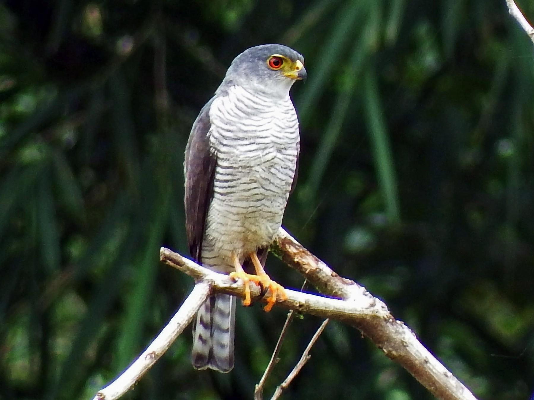 Tiny Hawk - Mayron McKewy Mejia