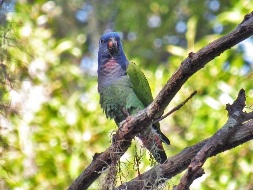 Blue-headed Parrot - Jose Luis Ropero (Turismo)