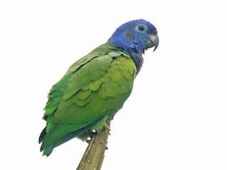 - Blue-headed Parrot