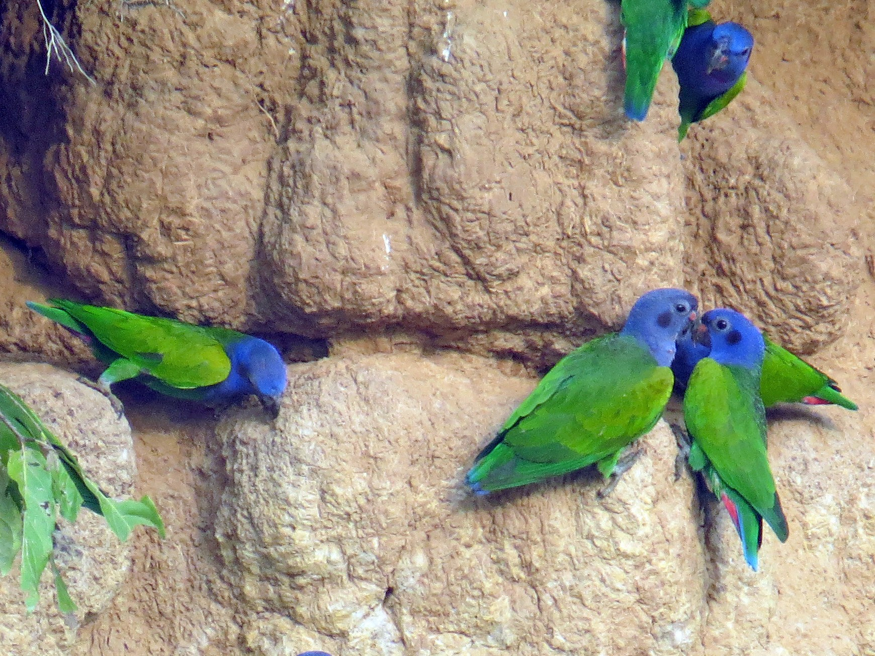 Blue-headed Parrot - Fred Peters