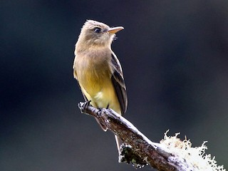 - Ochraceous Pewee