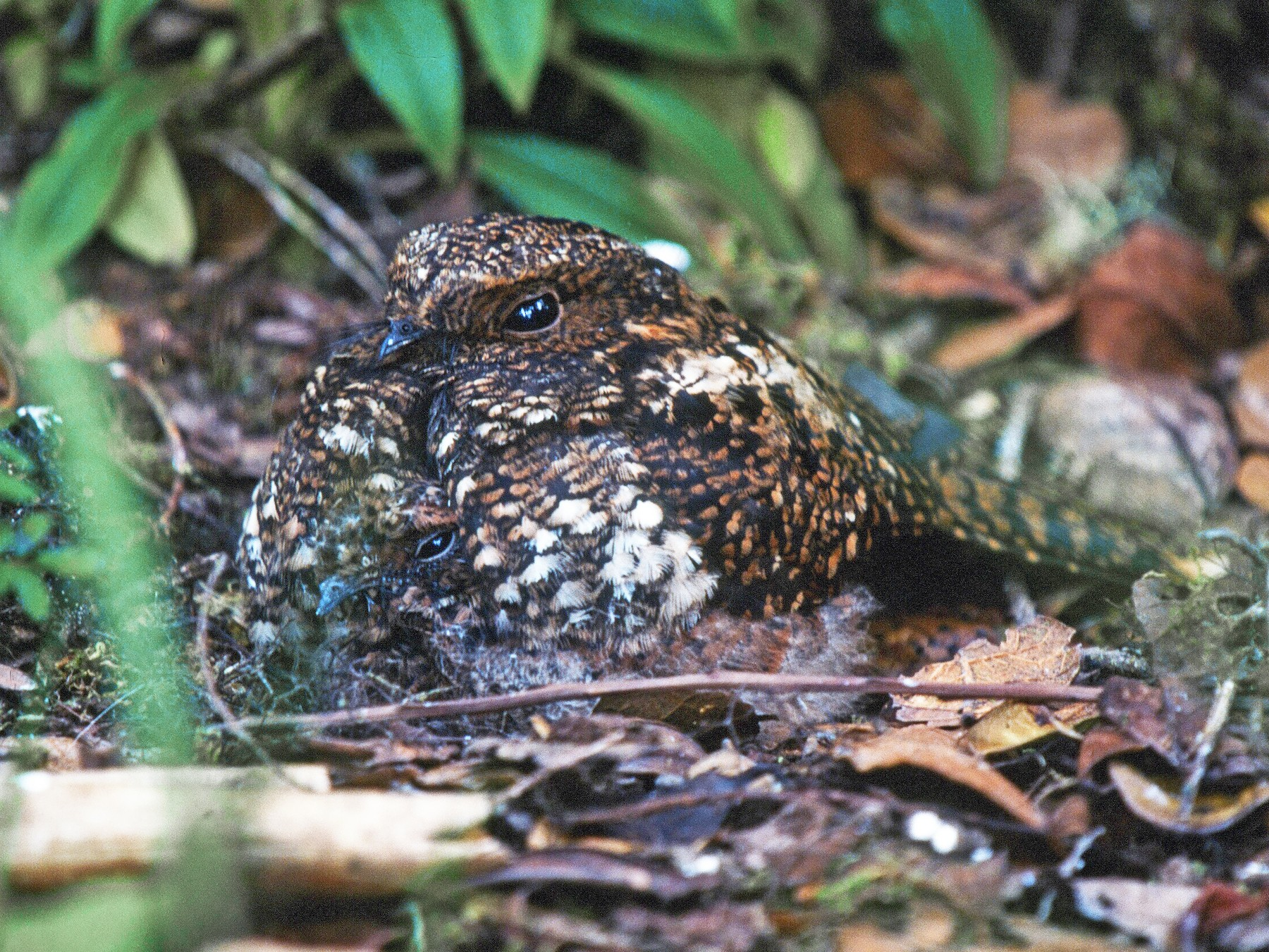 Dusky Nightjar - Chris Wood