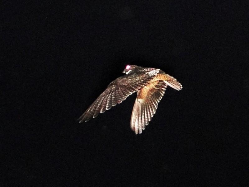 Short-tailed Nighthawk - Carlos Otávio Araujo Gussoni