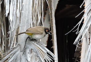 - Black-fronted Bulbul