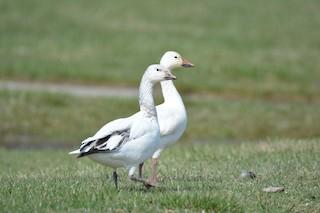 Snow Goose, ML53458561