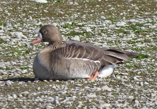 Greater White-fronted Goose, ML53463971