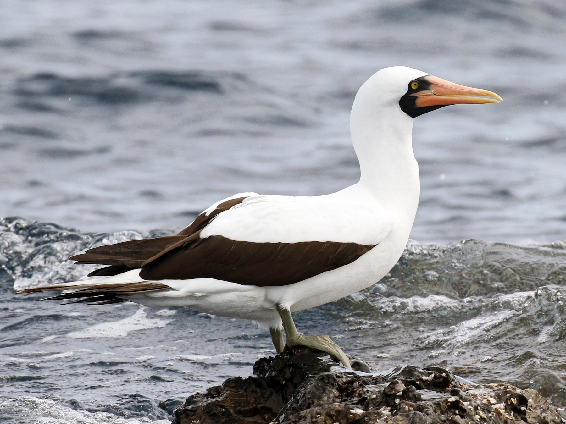 Nazca Booby - Jeff Tingle