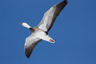 Snow Goose, ML53480421