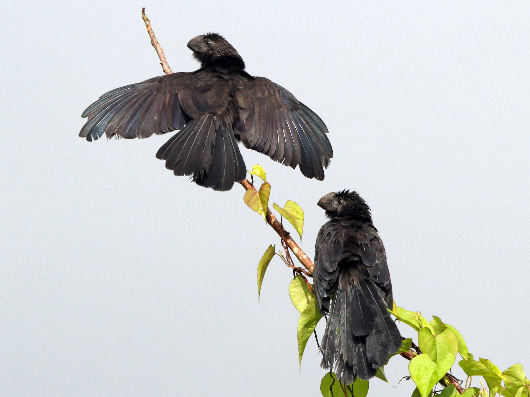 Smooth-billed Ani - Brian Ahern