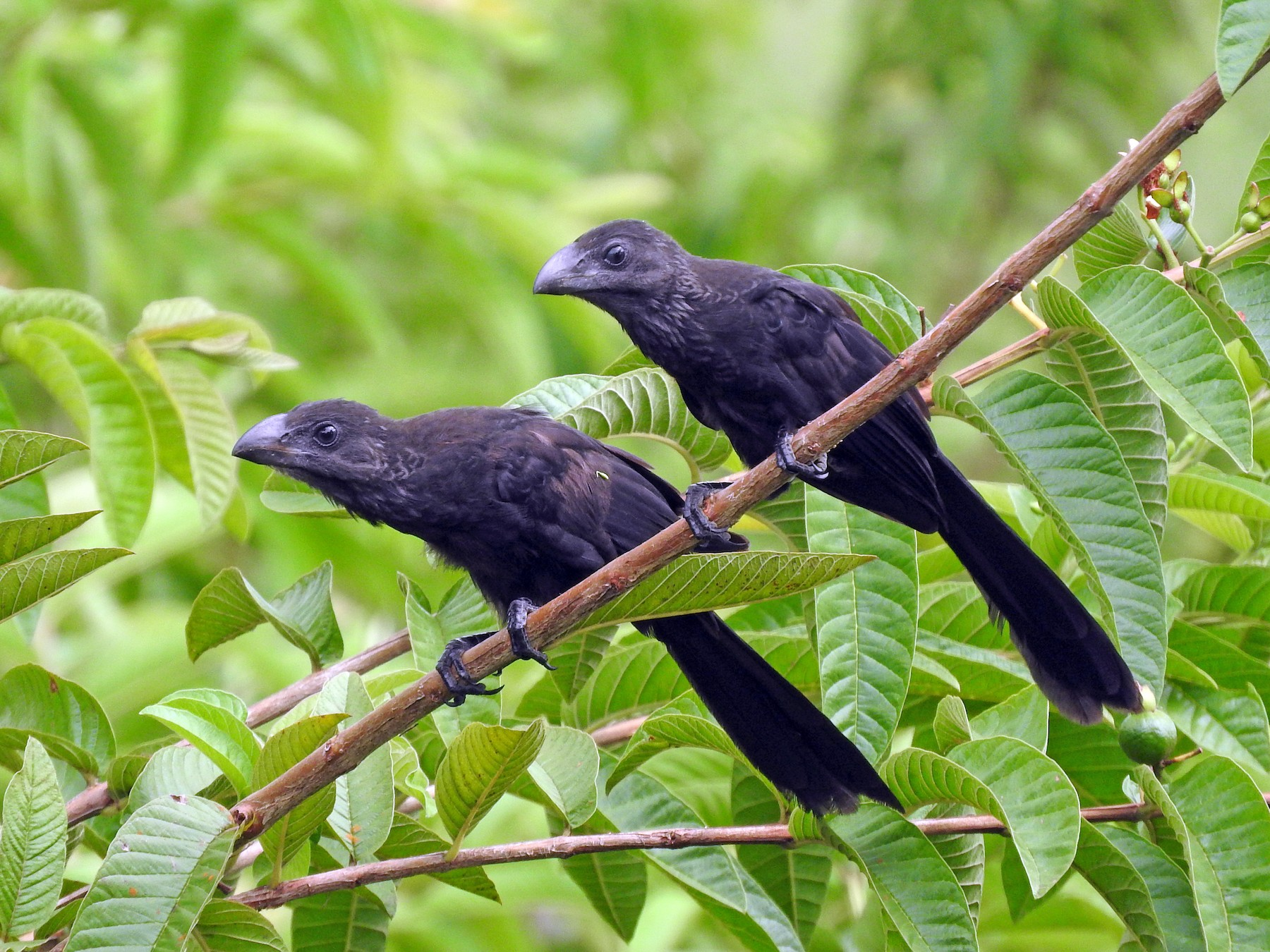 Smooth-billed Ani - Cole Gaerber