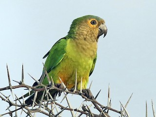 - Brown-throated Parakeet
