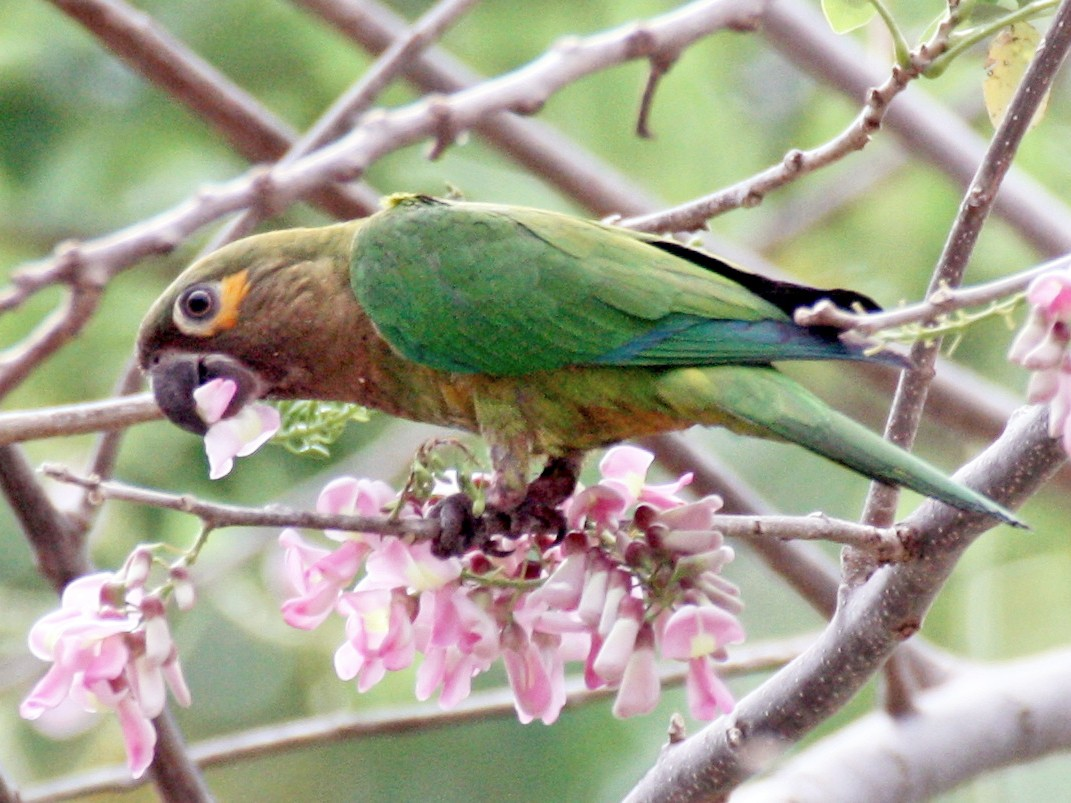 Brown-throated Parakeet - Angela Conry