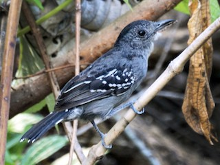 - Black-crowned Antshrike