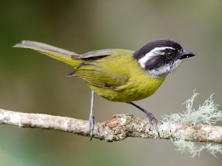 - Sooty-capped Chlorospingus