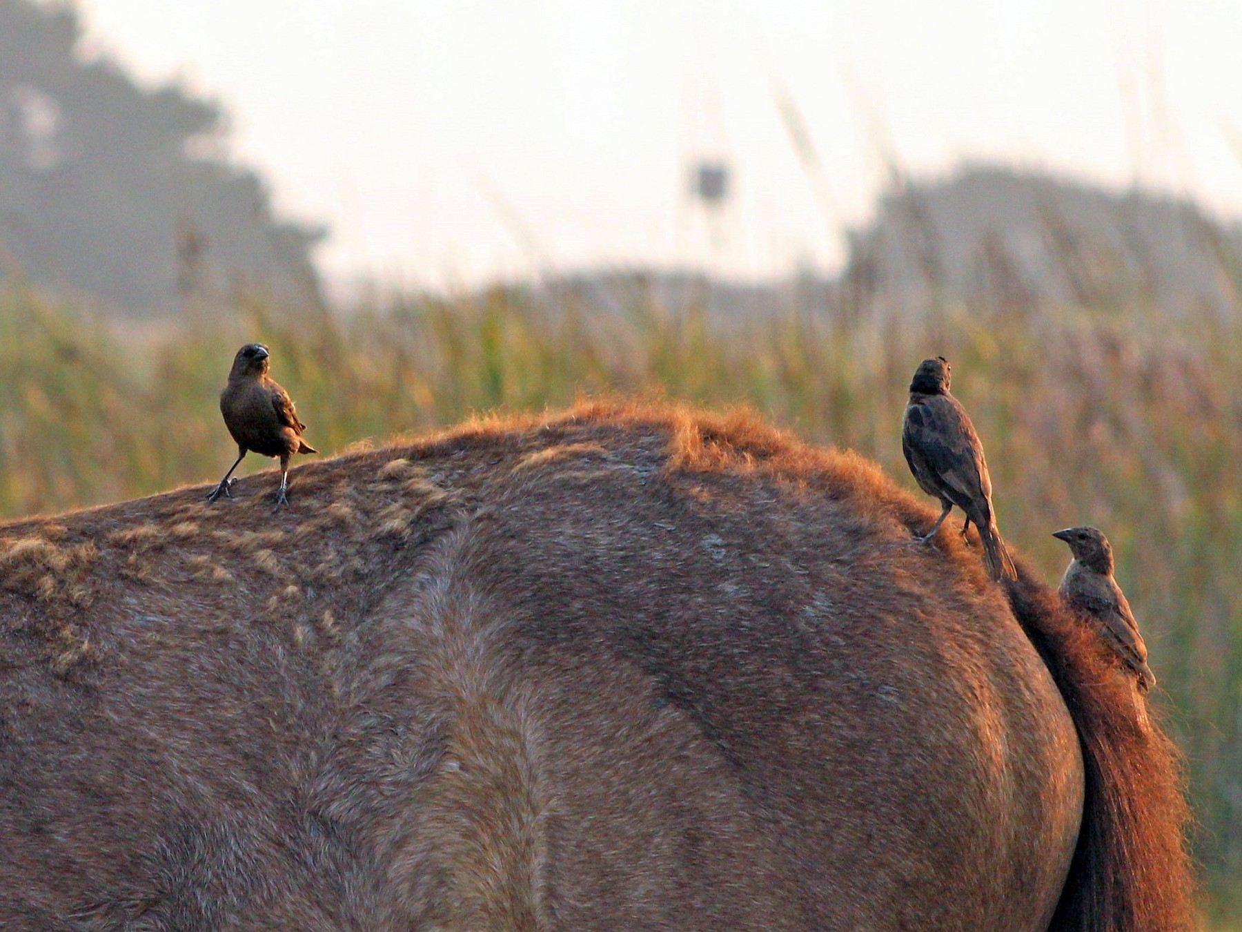 Shiny Cowbird - Matías Garrido