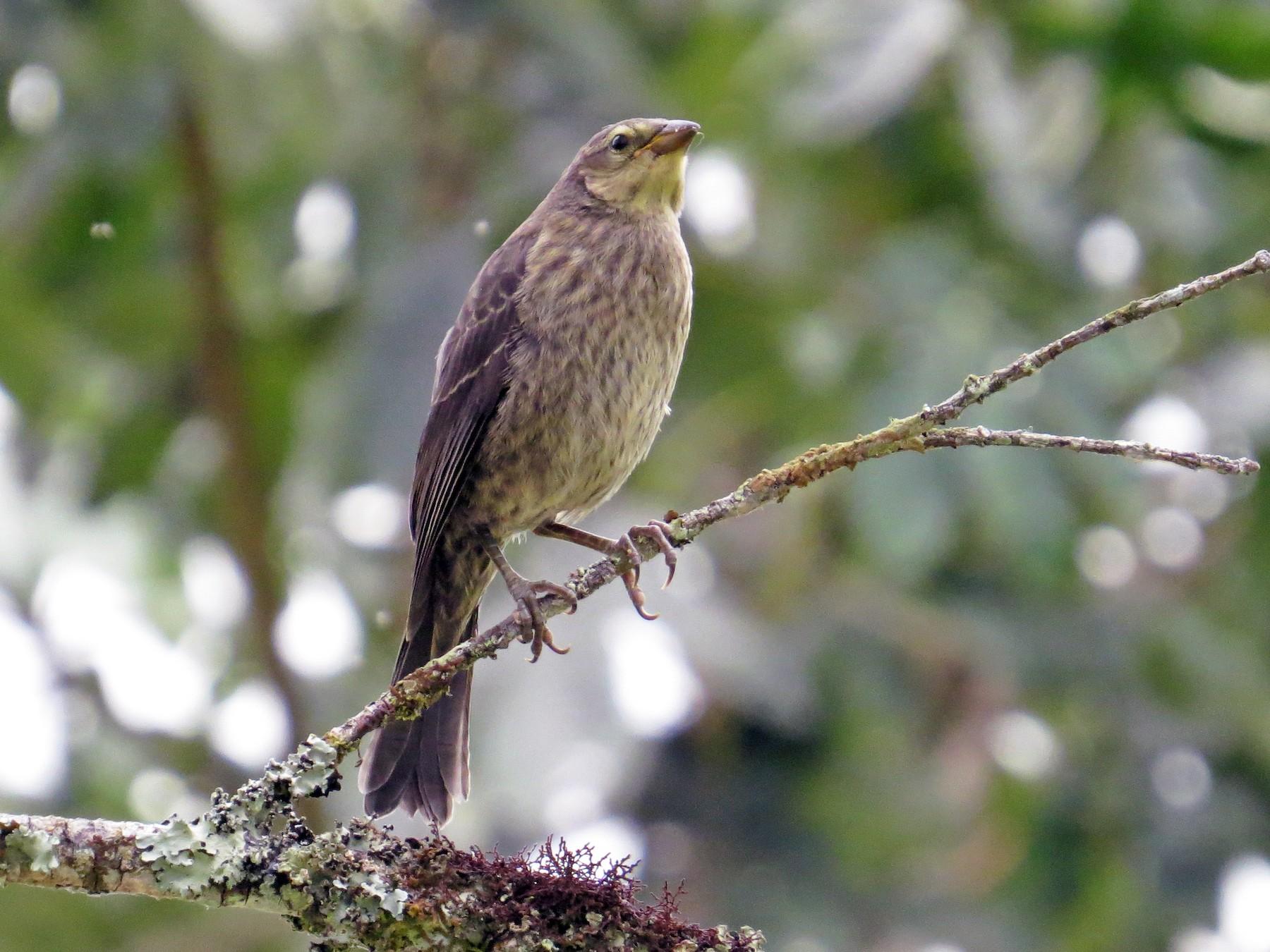 Shiny Cowbird - Mark Kosiewski