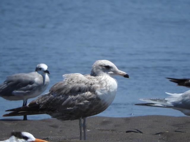 California Gull (albertaensis)