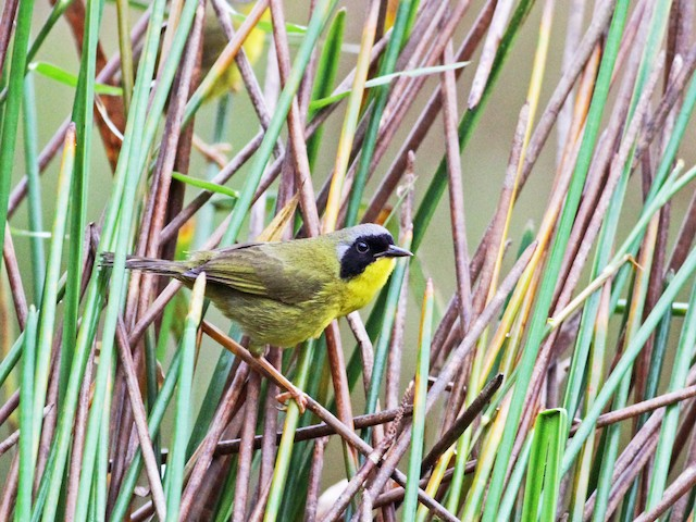 Olive-crowned Yellowthroat (Chiriqui)
