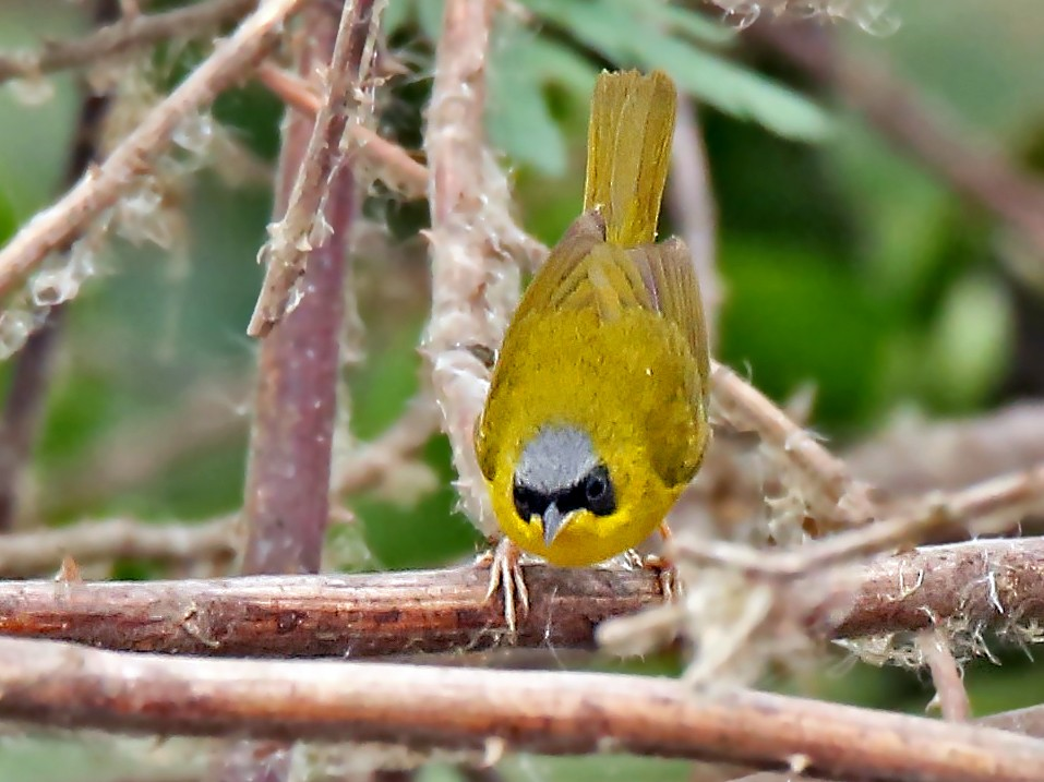 Masked Yellowthroat - Roger Ahlman