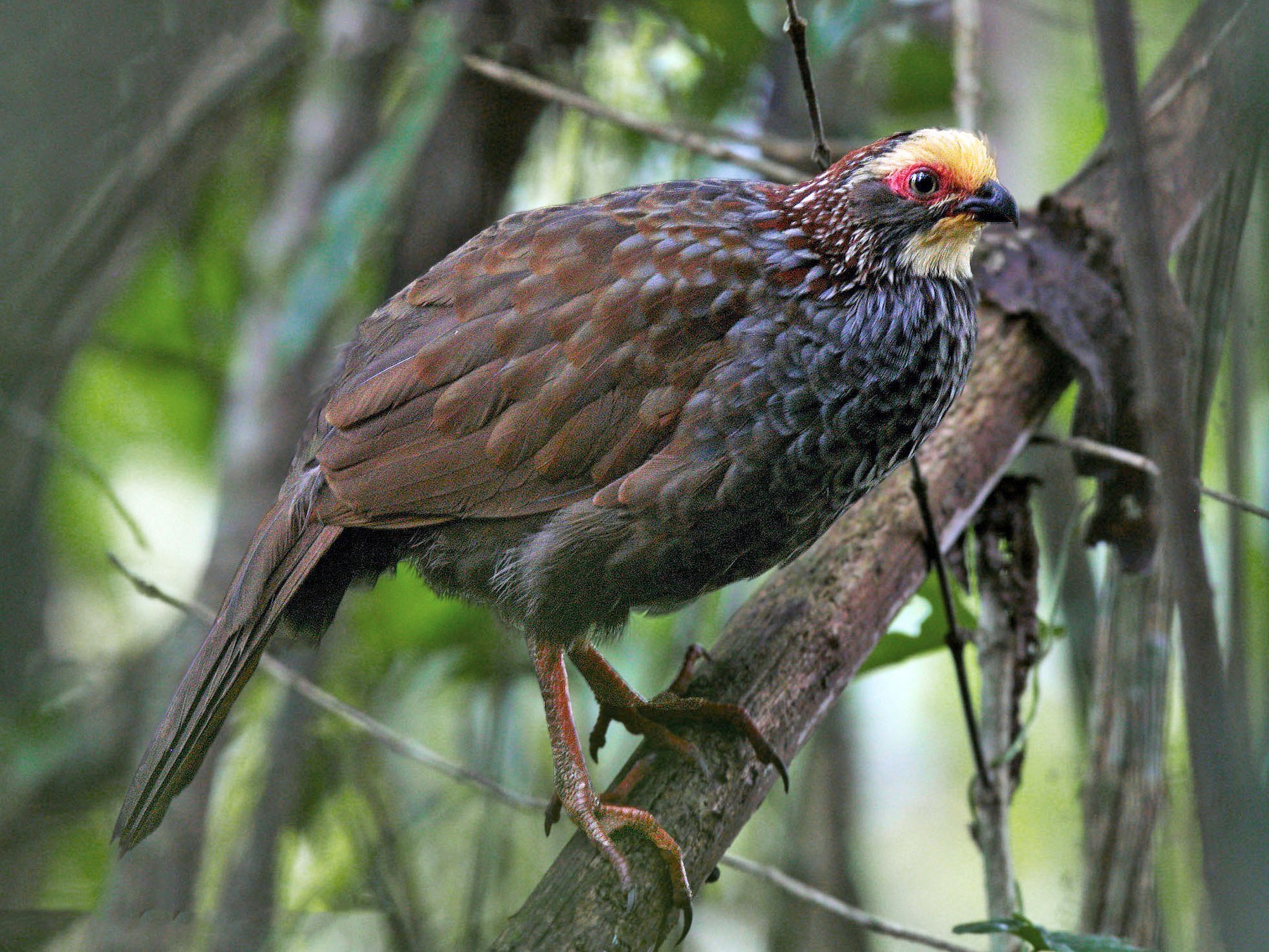 Buffy-crowned Wood-Partridge - Juan Diego Vargas