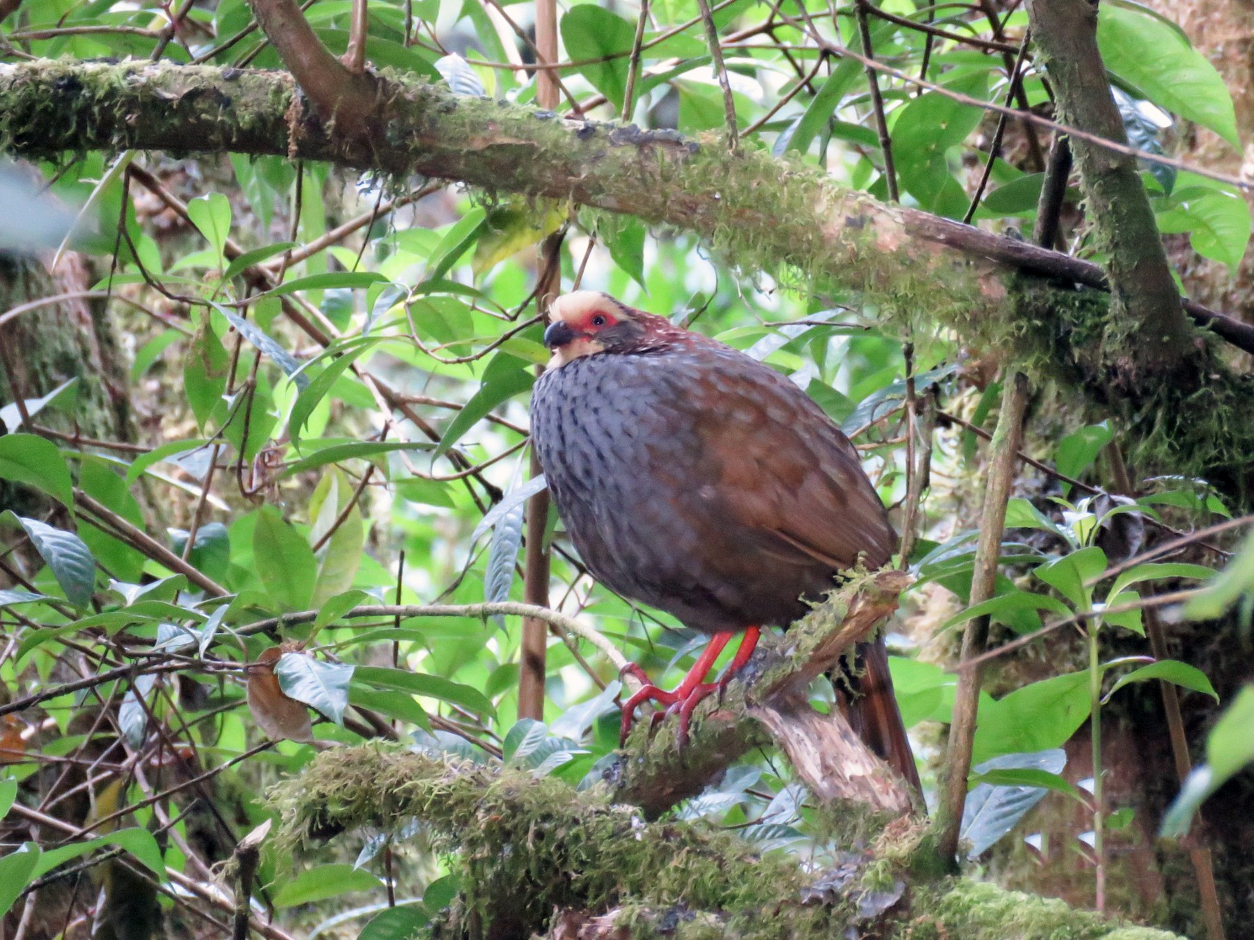 Buffy-crowned Wood-Partridge - Steve McInnis