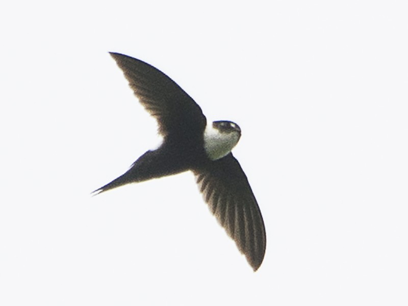 Lesser Swallow-tailed Swift - Jerome Foster