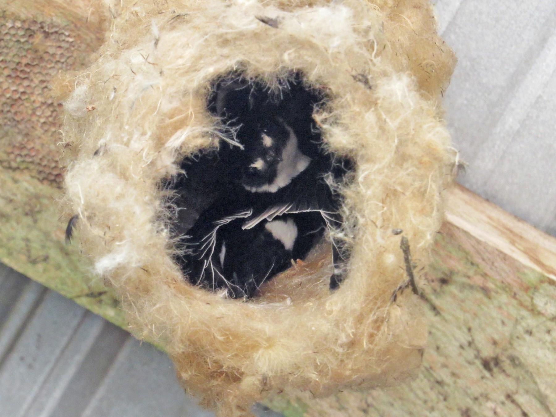 Lesser Swallow-tailed Swift - Rafael Ferro