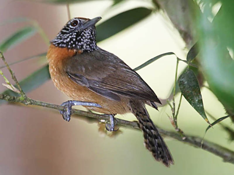 Rufous-breasted Wren - Tony Godfrey