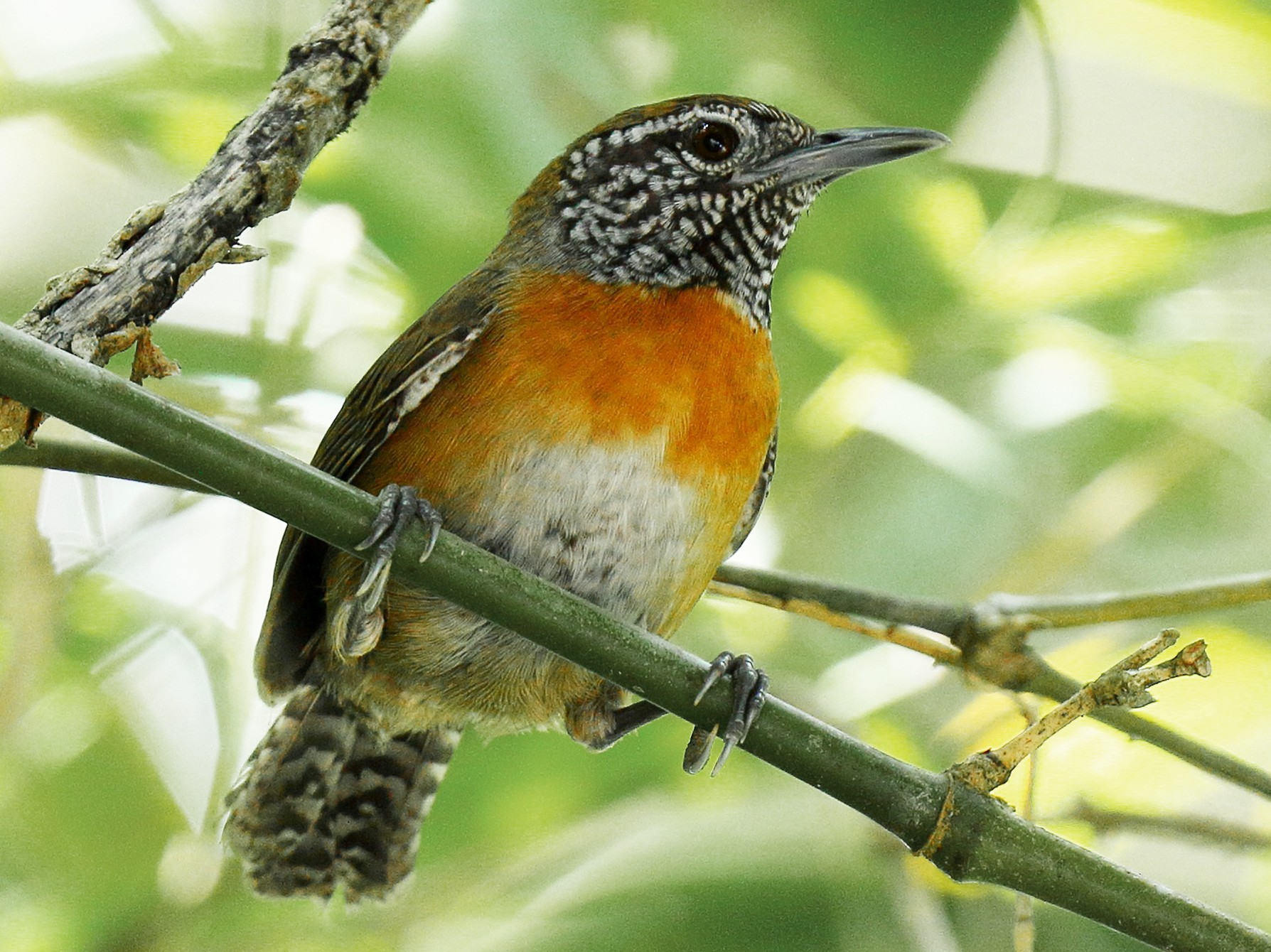 Rufous-breasted Wren - Kamal Mahabir