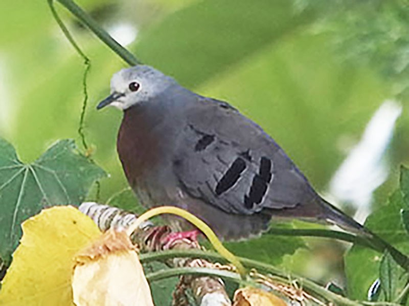 Maroon-chested Ground Dove - Euclides