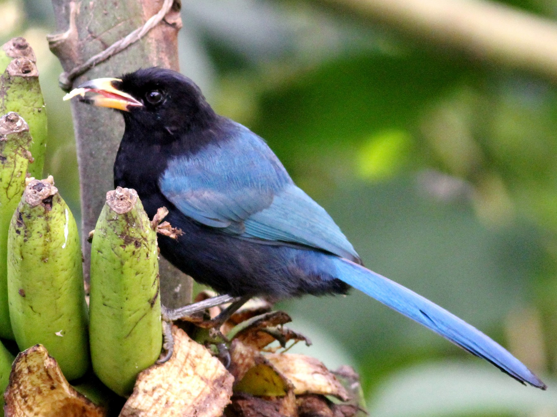 Bushy-crested Jay - Georges Duriaux