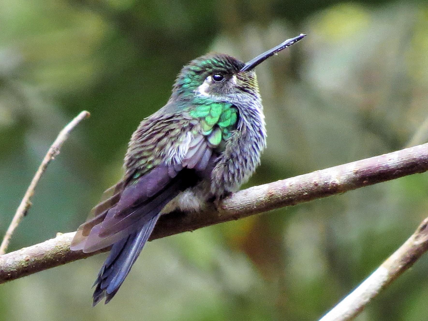 Green-breasted Mountain-gem - Oliver  Komar
