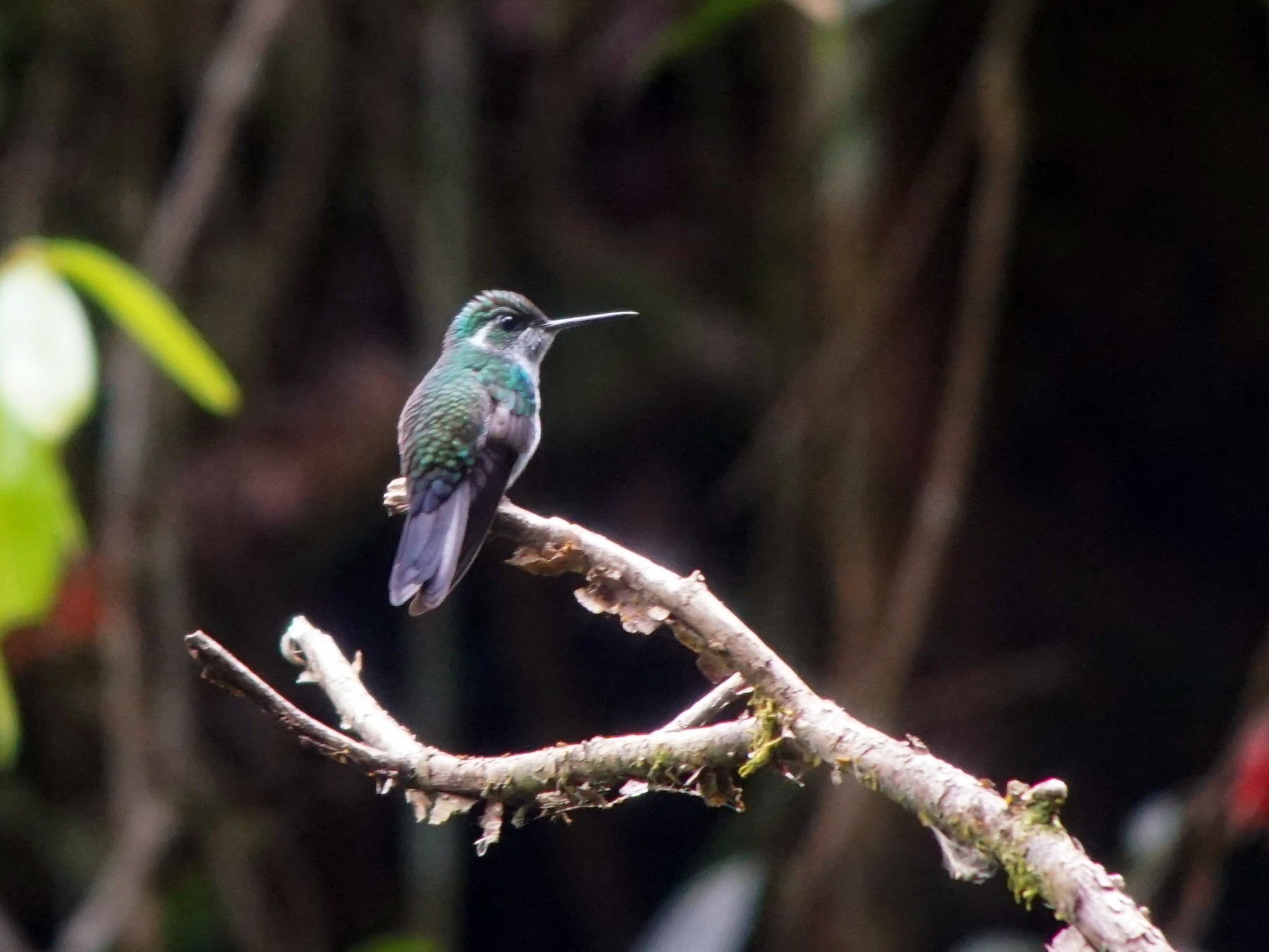 Green-breasted Mountain-gem - William Orellana (Beaks and Peaks)
